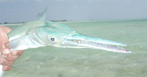 Ted Needlefish