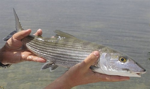JPs first Bonefish